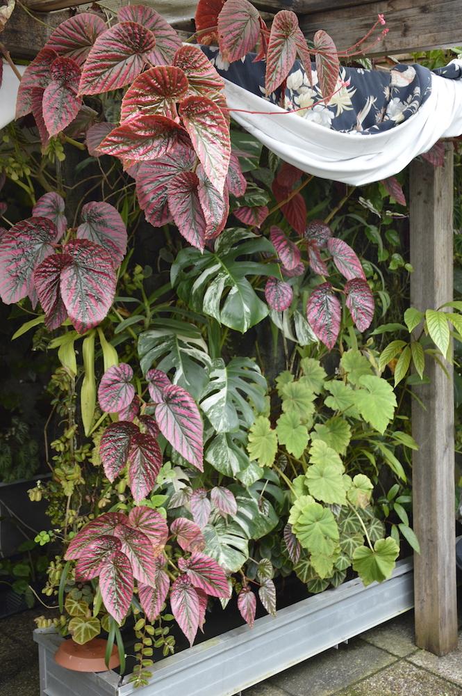 Begonia brevirimosa - vertical garden
